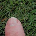 Putting green type grass