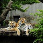 Позирующие амурские тигры