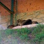 Pumas rescued from nightclub