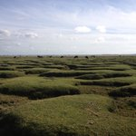 Salt marsh cattle on the west shore sunderland point