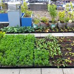 The herb garden on the roof
