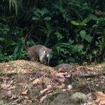 monteverde coati