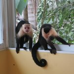 The monkeys sneaking into our porch thinking we have food