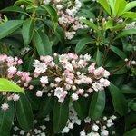 Mountain laurel in bloom!