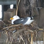 nesting seagull in the rafters below the pier