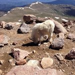 Greeting us at the top of Mt Evans