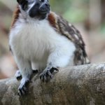 Geoffroy's Tamarian Monkey