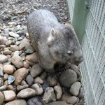 Wombat at Featherdale