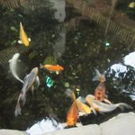 Koi Fish C'Mon Inn
