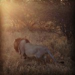 Lion sighting at sunrise