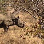 Black Rhino sighting