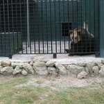 The large carnivorous animals at this zoo live in too small enclosures. Bears can be seen pacing