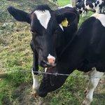 Friendliest cows ever!