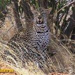 On a Kenya safari tour from Mombasa we came across this leopard in Tsavo West hunting dikdik.