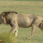 A lion trying to find his displaced family in Amboseli Kenya safari from Mombasa