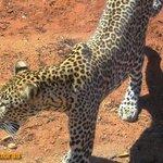 Mombasa safari Tsavo Kenya-This leopard went for shade under our safari van