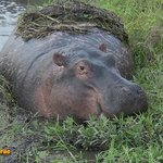 A hippo grazing in Amboseli-safari from Mombasa Kenya