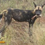 We came across about fifty wild dogs in Tsavo East NP on a safari from Mombasa Kenya