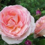 Lovely scented rose. One of many.