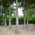 Selection of cuban palms,El palmeral de madaria Alicante, Spain