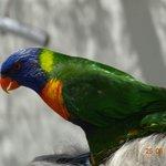 tropische Finken und keine Papageien