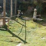 Condor in pen
