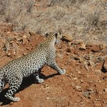 Leopard in tsavo west!