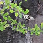 Butterfly at Saeng's