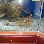 Jasper the lobster