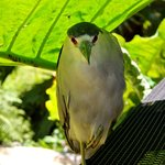 A black-crowned night heron resting in the shade.