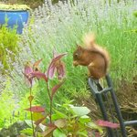 Red squirrel seen while having breakfast