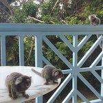 Micos visitando a varanda.