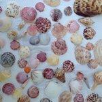 Famous Sanibel shells.