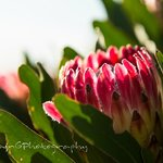 Protea - growing wild - De Hoop