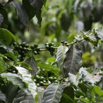 Coffee beans growing on the coffee trees