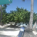 Beach shade tree