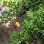 lemons in the garden were HUGE, view from terrace