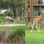 Animals in the savannah at Disney's Animal Kingdom Lodge
