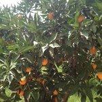 Domaine Tarik orange trees