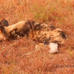 Wild dog resting...looks like hyena...they were BEAUTIFUL and rare to see