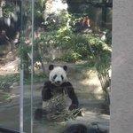 Ling Ling the panda