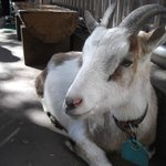 One of the goats that roam free in the farm area