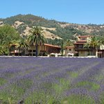 Ceago Estates Winery-Lavender Field