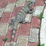 Lounging iguanas