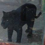 Poor big cats stuck in little enclosures