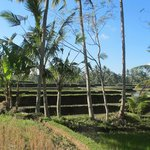 Rice paddy fields..