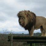 Leão fazendo pose pra foto!