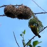Seraducap birds in the trees in the carpark