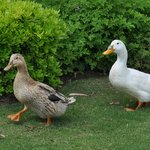 Couple of funny ducks - permanent lovely guests
