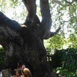 700 ys old tree